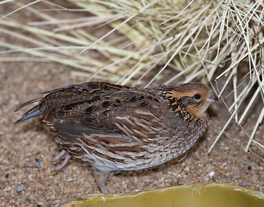 Northern Bobwhite [Female] (Colinus virginianus)