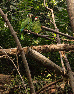 Peurto Rican Amazon (Amazona vittata)