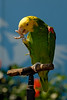 Yellow-headed Amazon (Amazona oratrix)