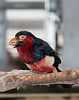 Bearded Barbet (Pogonornis dubius)