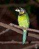 Fire-tufted Barbet (Psilopogon pyrolophus)