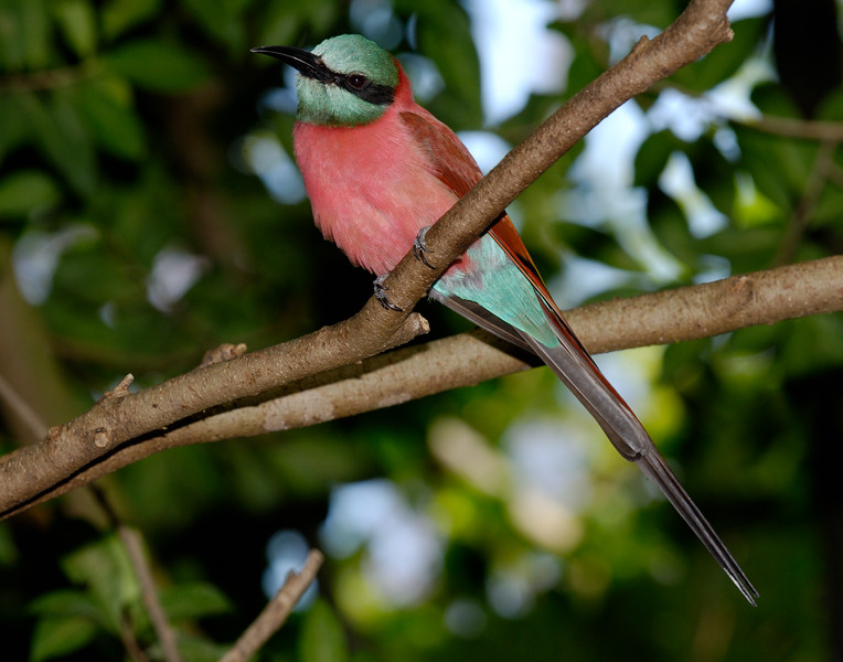 Northern Carmine Bee-eater (Merops nubicus)