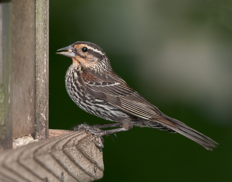 Red-winged Blackbird [Juvenile] (Agelaius phoeniceus)