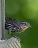 Red-winged Blackbird [Female] (Agelaius phoeniceus)