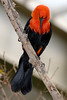 Scarlet-headed Blackbird (Amblyramphus holosericeus)