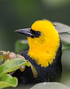 Yellow-headed Blackbird [Female] (Xanthocephalus xanthocephalus)