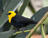 National Aviary: Pittsburgh, Pennsylvania<br /> Blackbird_Yellow-headed_(1)_MSJ_9497 - 5/13/16 3:02:31 PM