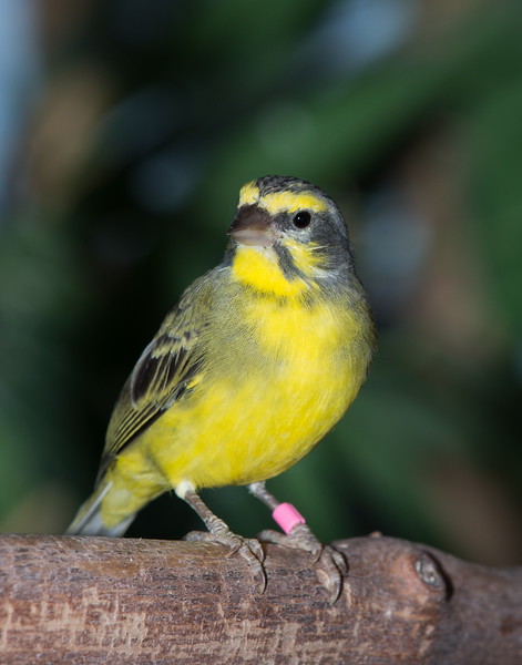 Yellow-fronted Canary (Serinus Mozambicus)