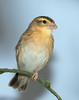 Yellow-fronted Canary [Female] (Serinus Mozambicus)