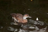 Canvasback [Female] (Aythya valisineria)