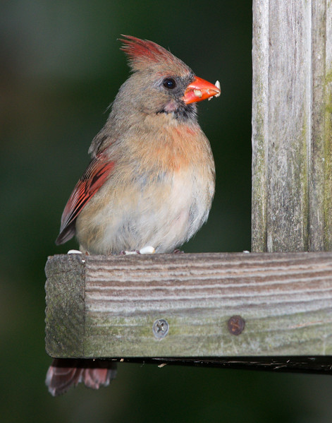 Northern Cardinal [Female] (Cardinalis cardinalis)