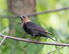 Brown-headed Cowbird (Molothrus ater)