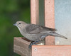 Brown-headed Cowbird [Juvenile] (Molothrus ater)