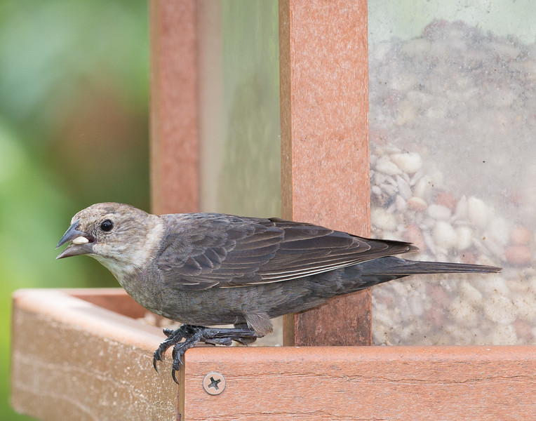 Brown-headed Cowbird [Female] (Molothrus ater)
