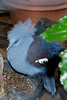 Western Crowned-pigeon (Goura cristata)