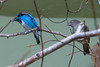 Black-faced Dacnis (Dacnis lineata), Black-faced Dacnis [Female] (Dacnis lineata)
