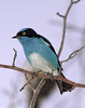 Black-faced Dacnis (Dacnis lineata)