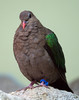 Gray-capped Emerald Dove [Female] (Chalcophaps indica)