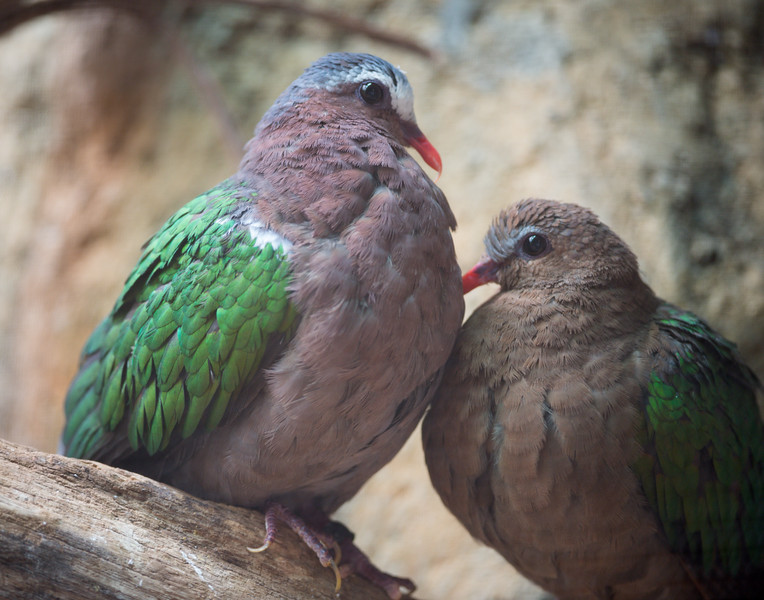 Gray-capped Emerald Dove (Chalcophaps indica), Gray-capped Emerald Dove [Female] (Chalcophaps indica)