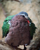 Gray-capped Emerald Dove (Chalcophaps indica)