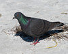 Rock Dove (Columba livia)