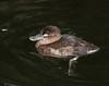 Ruddy Duck [Female] (Oxyura jamaicensis)