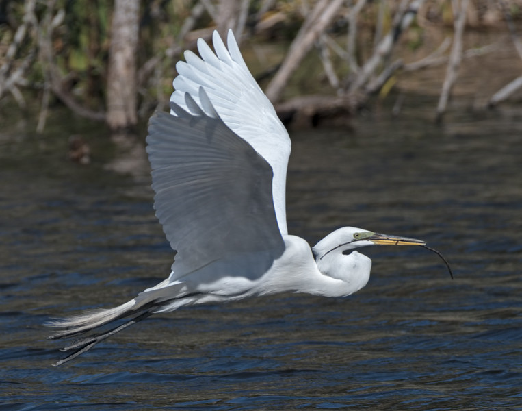 Great White Egret (Ardea alba)