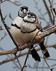 Double-barred Finch (Taeniopygia bichenovii)