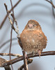 Cut-throat Finch [Female] (Amadina fasciata)