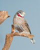 Cut-throat Finch (Amadina fasciata)