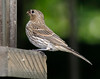 House Finch [Female] (Carpodacus mexicanus)
