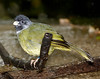 Collared Finchbill (Spizixos semitorques)