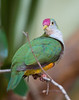 Beautiful Fruit-dove (Ptilinopus pulchellus)