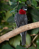 Purple-Throated Fruitcrow (Querula purpurata)