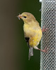 American Goldfinch [Female] (Carduelis tristis)