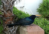 Boat-tailed Grackle (Quiscalus major)