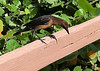 Boat-tailed Grackle [Female] (Quiscalus major)