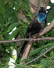 Common Grackle (Quiscalus quiscula)