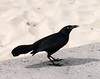 Greater Antillean Grackle ( Quiscalus niger)