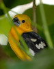 Golden Grosbeak (Pheucticus chrysogaster)