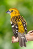 Golden Grosbeak [Female] (Pheucticus chrysogaster)