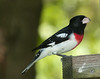 Rose-breasted Grosbeak (Pheucticus ludovicianus)