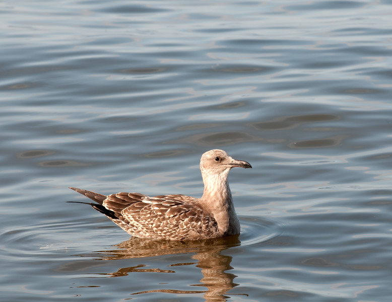 Artic Herring Gull [Juvenile] (Larus smithsonianus)