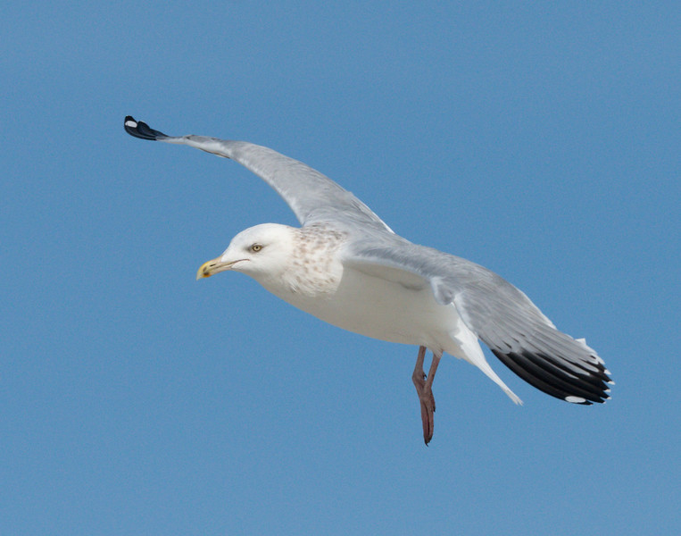 Artic Herring Gull (Larus smithsonianus)
