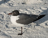 Laughing Gull (Larus atricilla)