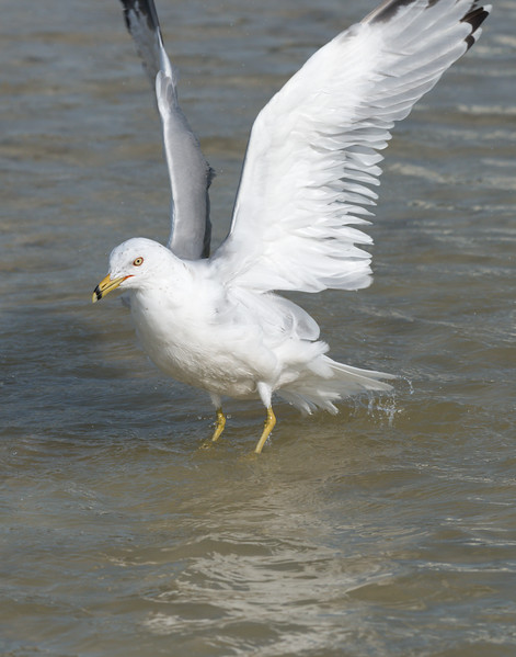 Ring-billed Gull (Larus delawarensis)