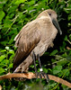 Hammerkop (Scopus umbretta)