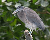Boat-billed Heron [Juvenile] (Cochlearius cochlearius)