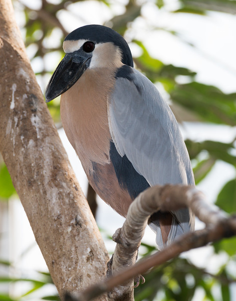 Boat-billed Heron (Cochlearius cochlearius)