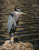 Great Blue Heron (Ardea herodias)